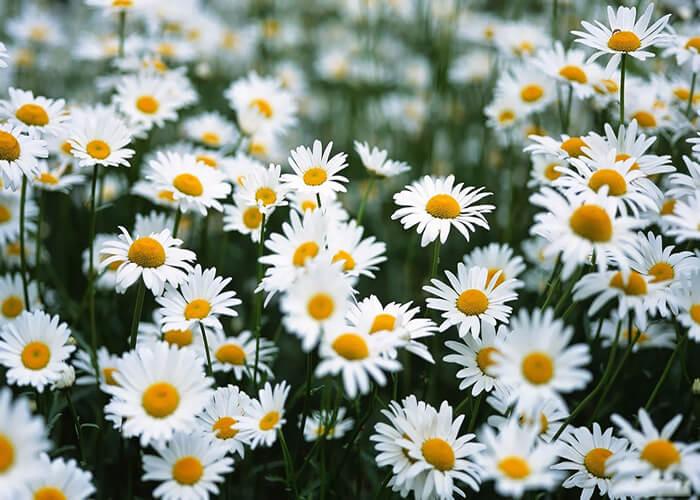 tác dụng hoa cúc