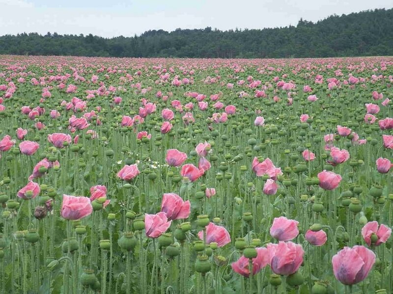 cánh đồng hoa thuốc phiện rất đẹp