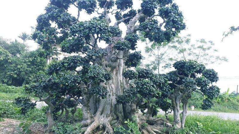 cây duối cổ thụ