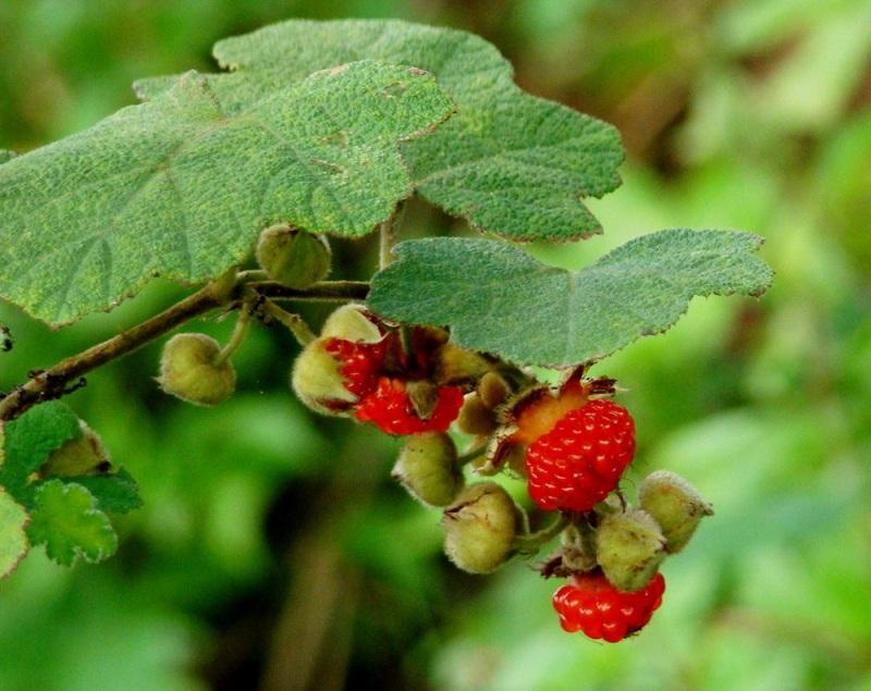 cây mâm xôi thảo dược tự nhiên