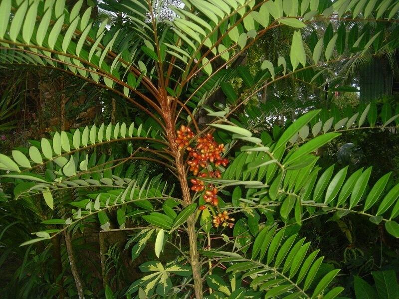 cây mật nhân thảo dược quý