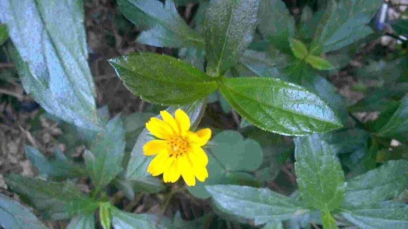 cây sài đất thảo dược tự nhiên tốt cho sức khỏe