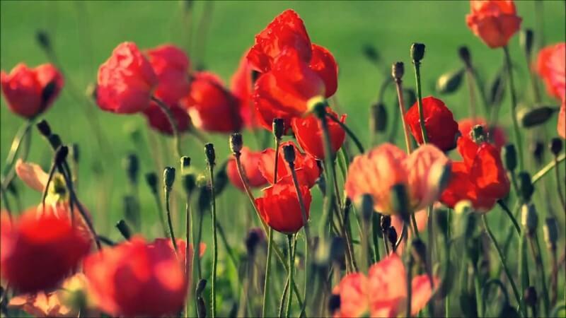 cây thuốc phiện màu đỏ