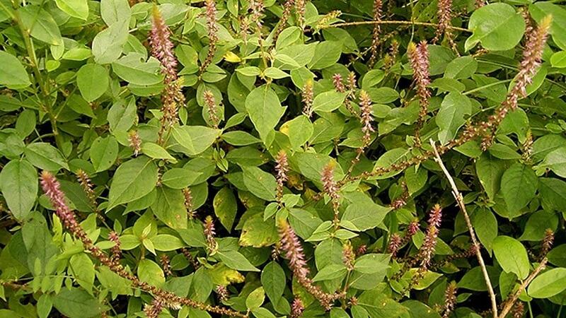 cỏ xước cây thuốc nam điều trị nhiều bệnh