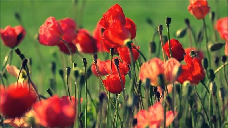 Hoa anh túc màu đỏ