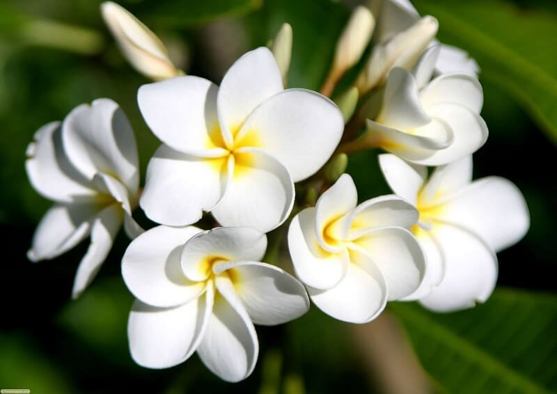 hoa đại chữa được nhiều bệnh