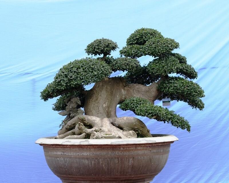 làm cây bonsai nghệ thuật từ cây duối