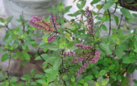 Cây Hương Nhu – Những Công Dụng Bất Ngờ Và Cách Sử Dụng