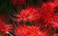 Mạn châu sa hoa (hoa bỉ ngạn) và những dược tính bạn cần lưu ý