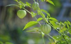 Cây Tầm Bóp – Cây Thuốc Khắc Tinh Của Tiểu Đường Và Ung Thư